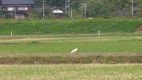 Nipponia nippon or Japanese Crested Ibis or Toki, once extinct animal from Japan, on rice field in