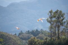 Free Nipponia Nippon Or Japanese Crested Ibis Or Toki, Once Extinct Animal From Japan, Flying On Blue S Royalty Free Stock Photo - 161920135