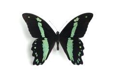 Nireus van Papilio Royalty-vrije Stock Foto