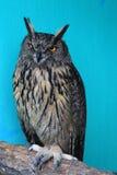 Nirht owl Stock Images