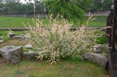Nishiki Hakuro, японская dappled верба, integra Salix на дождливый день стоковые изображения