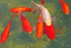 Nishikigoi. Closeup of the japanese carps in the pond Stock Photos