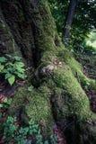 Niska część ogromny stary bukowy drzewo przerastający z mech zdjęcia royalty free