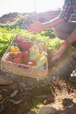 Niska sekcja mężczyzna z koszem świezi warzywa Obrazy Royalty Free