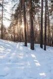 Niski zimy słońce błyszczy przez drzew w i cieni od drzew na śniegu sosnowym lesie i słonecznej ścieżce Zdjęcie Royalty Free
