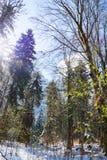 Niski zimy słońce błyszczy przez drzew w i cieni od drzew na śniegu sosnowym lesie i słonecznej ścieżce Obraz Stock
