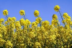 Niskiego kąta widok jaskrawi żółci kwiaty Rapeseed Brassica napus obraz stock