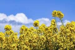Niskiego kąta widok jaskrawi żółci kwiaty Rapeseed Brassica napus zdjęcia stock