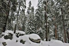 Niskiego kąta widok śnieg zakrywał skały i redwood drzewa w sekwoja parku narodowym Kalifornia obrazy royalty free