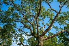 Niskiego kąta widok duży drzewo zdjęcia royalty free