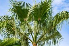 Niskiego kąta widok tropikalny drzewko palmowe obraz royalty free