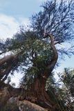 Niskiego kąta widok drzewo, Manali, Himachal Pradesh, India Obraz Royalty Free