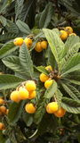 Nisperos tree-fruit-Andalusia-Spain. EUROPE royalty free stock images