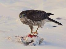 Nisus 1 настоящего ястреба Sparrowhawk Стоковые Изображения RF