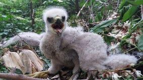 Nisus d'Accipiter de faucon de moineau de bébé Images stock