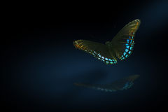 Nite time butterfly Stock Photography