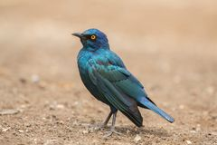 Nitens brillants de Starling Lamprotornis Photographie stock libre de droits