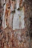 Nitens d'eucalyptus de texture d'écorce de Rought Image stock