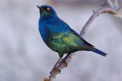 Nitens lustrosos dos lampotornis de Starling do cabo Foto de Stock