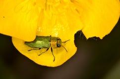 Nitidula Anthaxia жука драгоценности Стоковая Фотография