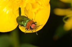 Nitidula Anthaxia жука драгоценности Стоковые Изображения
