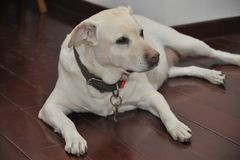Niuniu Labrador retriever Stockfoto