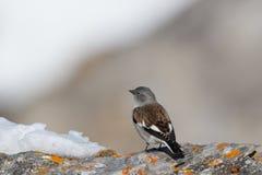 nivalis Blanco-cons alas del montifringilla del pájaro del snowfinch en invierno foto de archivo