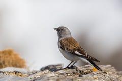 nivalis Blanco-cons alas del montifringilla del pájaro del snowfinch que se colocan en roca fotografía de archivo libre de regalías