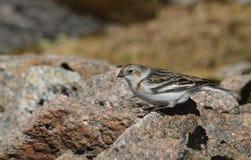 Nivalis d'un Plectrophenax d'étamine de neige de femelle dans le plumage d'été, haut dans les montagnes écossaises Photographie stock libre de droits