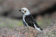 Nivalis d'un Plectrophenax d'étamine de neige de mâle dans le plumage d'été Photo libre de droits