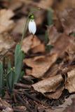 Nivalis de Galanthus Flores da mola de Snowdrop Snowdrop ou Galanthus O snowdrop da flor da mola é a primeira flor no fim do inve Foto de Stock Royalty Free