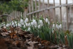 Nivalis de Galanthus Flores da mola de Snowdrop Snowdrop ou Galanthus O snowdrop da flor da mola é a primeira flor no fim do inve Foto de Stock