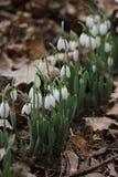 Nivalis de Galanthus Flores da mola de Snowdrop Snowdrop ou Galanthus O snowdrop da flor da mola é a primeira flor no fim do inve Imagem de Stock
