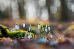 Nivalis de Galanthus de la flor de Snowdrop en el bosque soleado escarchado Foto de archivo