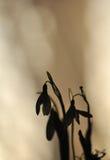 Nivalis de Snowdrop - de Galanthus Images libres de droits