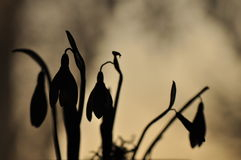 Nivalis de Snowdrop - de Galanthus Photos stock