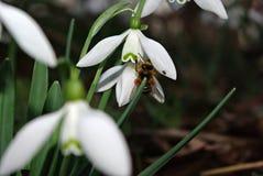 Nivalis de Snowdrops Galanthus Foto de archivo