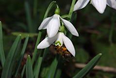 Nivalis de Snowdrops Galanthus Imagen de archivo libre de regalías