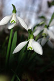 Nivalis de Snowdrops Galanthus Imagens de Stock Royalty Free