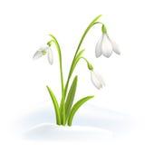 Nivalis de Snowdrops o de Galanthus en nieve en un fondo blanco Ejemplo del vector de la primavera Fondo del vector con la flor Fotografía de archivo libre de regalías