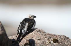 Nivalis de um Plectrophenax da estamenha de neve do homem na plumagem do verão Imagem de Stock Royalty Free