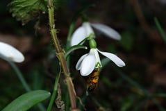 Nivalis di Galanthus di bucaneve Fotografia Stock Libera da Diritti