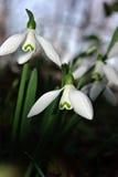 Nivalis di Galanthus di bucaneve Immagini Stock Libere da Diritti