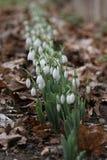 Nivalis di Galanthus Fiori della molla di bucaneve Bucaneve o Galanthus Il bucaneve del fiore della primavera è il primo fiore al Fotografie Stock Libere da Diritti