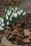 Nivalis di Galanthus Fiori della molla di bucaneve Bucaneve o Galanthus Il bucaneve del fiore della primavera è il primo fiore al Immagine Stock Libera da Diritti