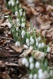 Nivalis di Galanthus Fiori della molla di bucaneve Bucaneve o Galanthus Il bucaneve del fiore della primavera è il primo fiore al Fotografia Stock Libera da Diritti