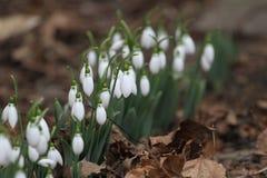 Nivalis di Galanthus Fiori della molla di bucaneve Bucaneve o Galanthus Il bucaneve del fiore della primavera è il primo fiore al Immagini Stock