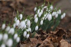 Nivalis di Galanthus Fiori della molla di bucaneve Bucaneve o Galanthus Il bucaneve del fiore della primavera è il primo fiore al Immagini Stock Libere da Diritti