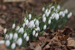 Nivalis di Galanthus Fiori della molla di bucaneve Bucaneve o Galanthus Il bucaneve del fiore della primavera è il primo fiore al Fotografia Stock