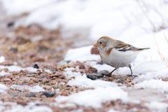 Nivalis för Plectrophenax för snöbunting arkivbilder